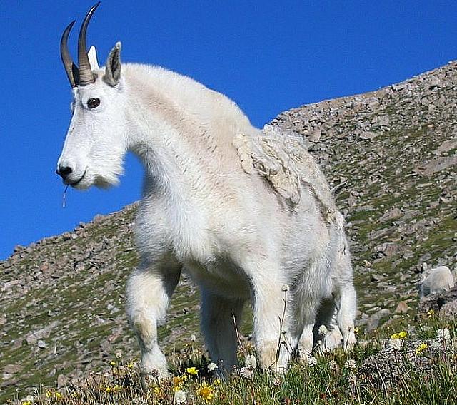 Wildlife Profile / Rocky Mountain Goat