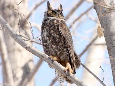 Wildlife Profile / Great Horned Owl