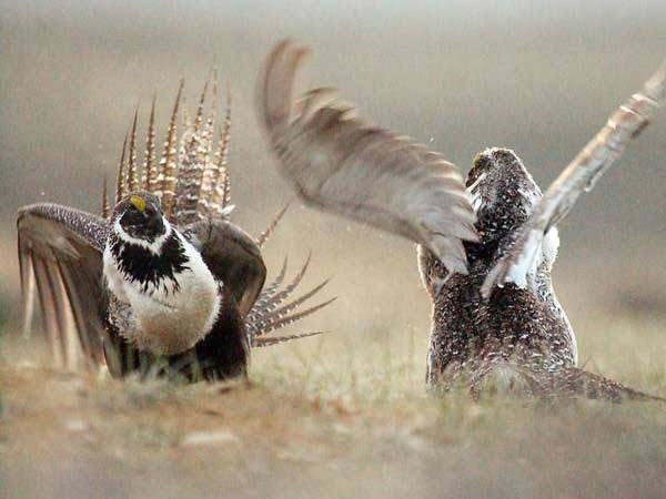 two sage grouse birds