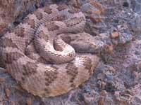 speckled snake