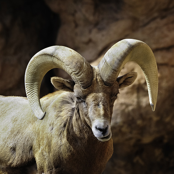 Wildlife Profile / Desert Bighorn Sheep