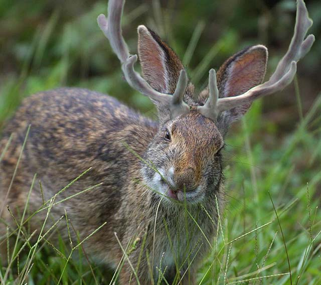 Wildlife Profile / The Jackalope
