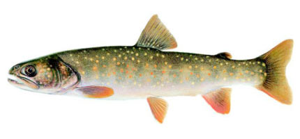 Wildlife Profile / Bull Trout
