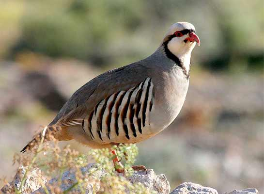 Wildlife Profile / Chukar