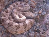 Wildlife Profile / Snakes of Nevada